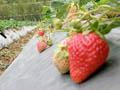 三灣雪霸健康草莓農場