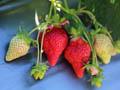 大湖松柏草莓園