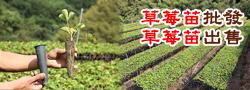 全興高架草莓農場
